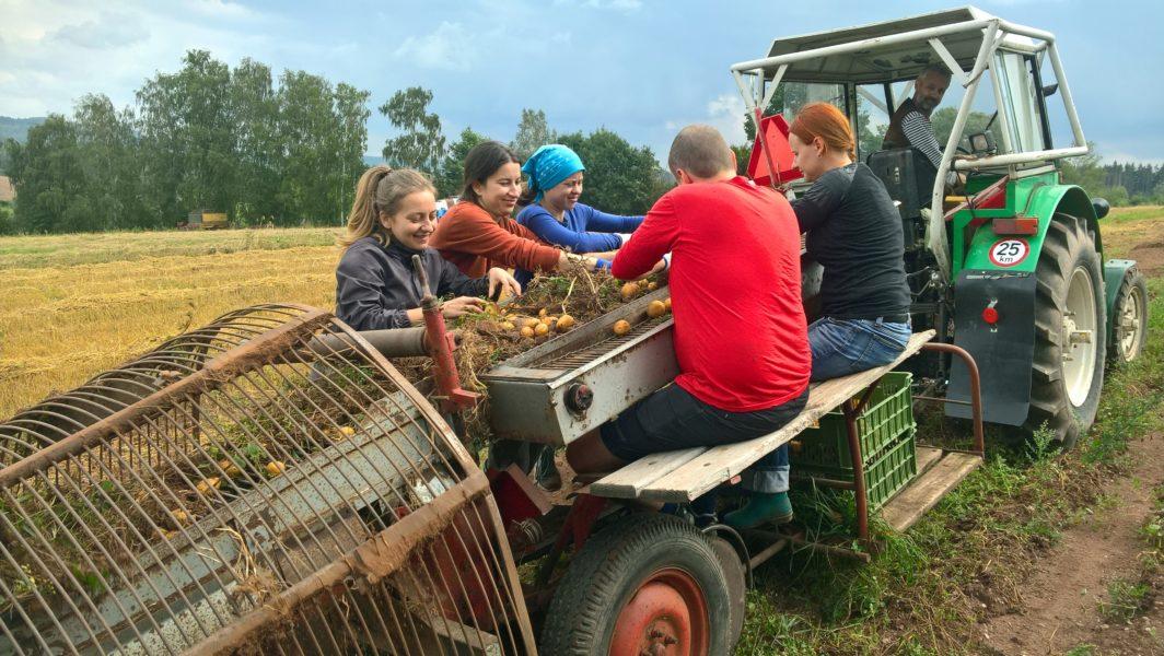 Letní bramborová brigáda